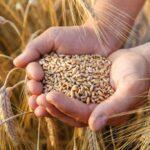 Озвучено ціни на пшеницю
