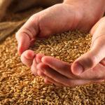 На Тернопільщині врожайність зернових зросла майже на 15%